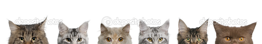 Maine coons, 1 year old, lined up in front of white background