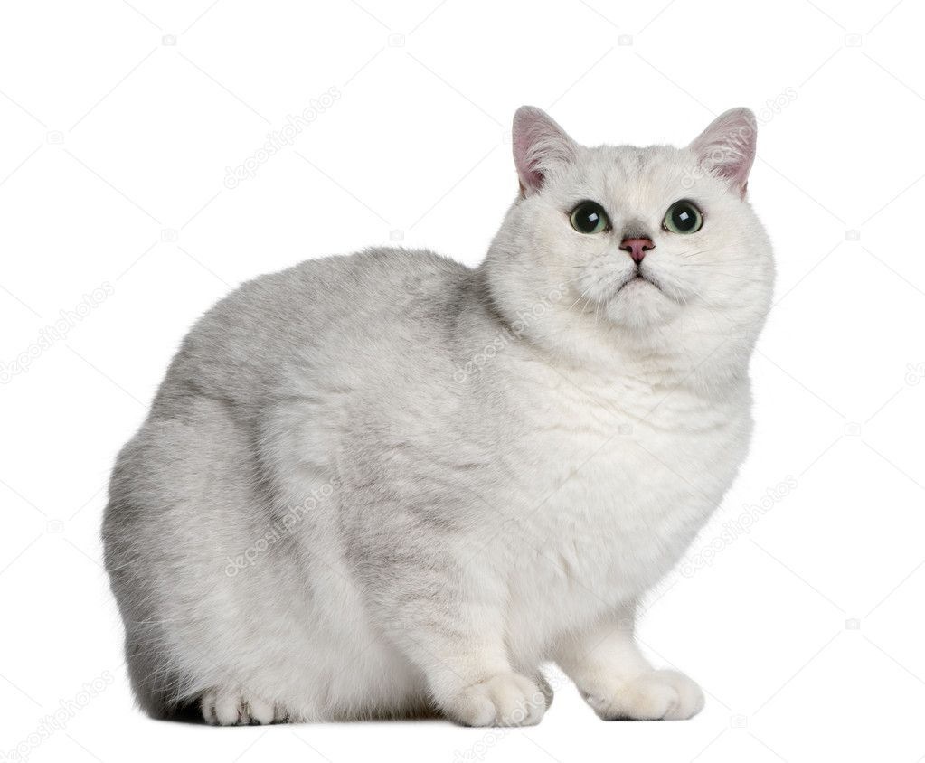 British shorthair cat 2 years old sitting in front of white