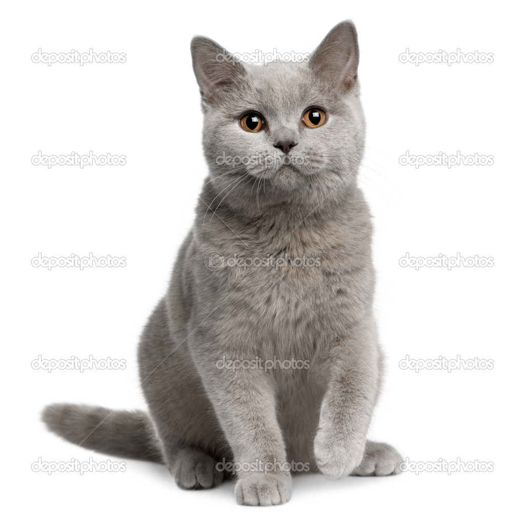 British shorthair cat, 7 months old, sitting in front of white background