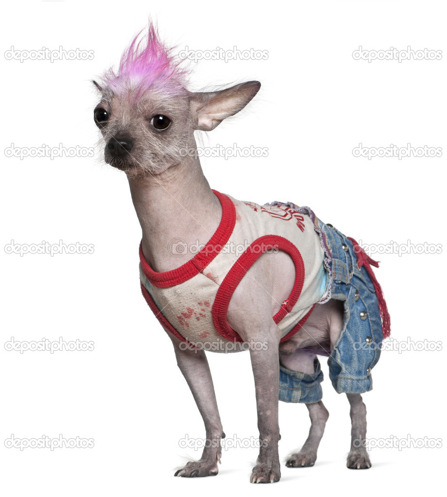 Punk Dressed Mexican Hairless Dog 4 Years Old Standing In Front Of