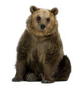 Photo Brown Bear, 8 years old, sitting in front of white background