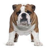 Fotografia bulldog inglese, 2 anni, in piedi davanti a sfondo bianco