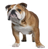 Fotografia bulldog inglese