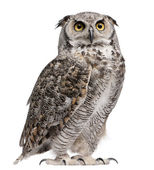 Photo Great Horned Owl, Bubo Virginianus Subarcticus, in front of white background