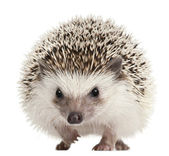 Photo Four-toed Hedgehog, Atelerix albiventris, 2 years old, balled up in front of white background