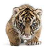 Fotografie Sumatran Tiger cub, Panthera tigris sumatrae, 3 weeks old, in front of white background
