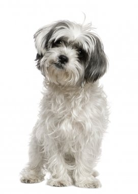 Maltese dog mixed with a Shih Tzu, 3 years old, sitting in front of white background