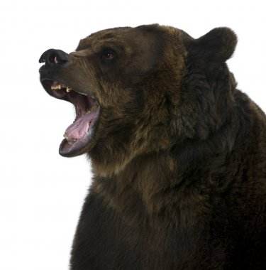 Grizzly bear, 10 years old, standing upright against white background