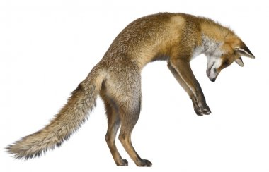 Front view of Red Fox (1 year old)