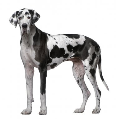 Great Dane, 5 Years old, standing in front of white background