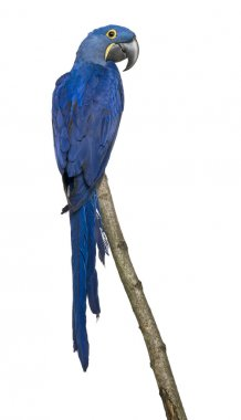 Hyacinth Macaw, 1 year old, perching on branch in front of white background