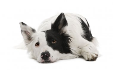 Border collie, 4 years old, in front of white background