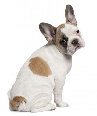 French Bulldog puppy, 3 months old, standing in front of white background