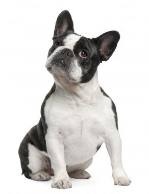 French Bulldog, 3 years old, sitting in front of white background