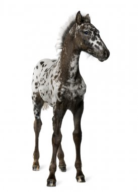 Crossbreed Foal between a Appaloosa and a Friesian horse