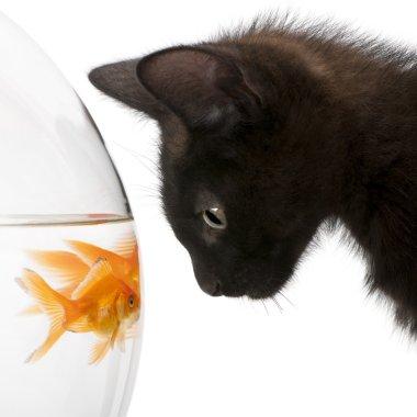 Black kitten looking at Goldfish, Carassius Auratus, swimming in fish bowl