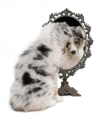 Blue Merle Australian Shepherd puppy, 10 weeks old, looking at reflection on mirror in front of white background