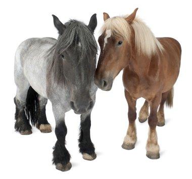 """Картина, постер, плакат, фотообои """"Бельгийский конь, бельгийский тяжелые лошади, брабансон, проект породы лошади, стоя перед белый фон"""", артикул 10893191"""