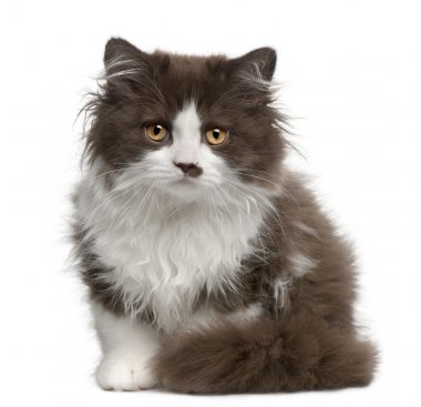 British Longhair kitten (3 months old)