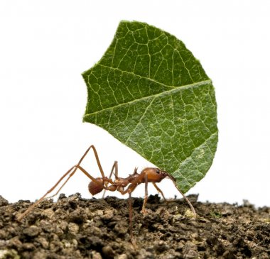 Leaf-cutter ant, Acromyrmex octospinosus, carrying leaf in front