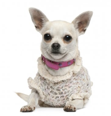 Chihuahua, 4 years old, dressed up and lying in front of white background