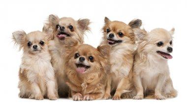 Chihuahuas, 14 years old, 11 years old, 5 years old, 3 years old