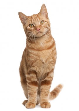 Ginger mixed breed cat, 6 months old, standing in front of white background