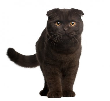 Scottish Fold Kitten, 4 months old, standing in front of white background