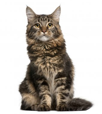 Maine Coon cat, 6 months old, sitting in front of white background