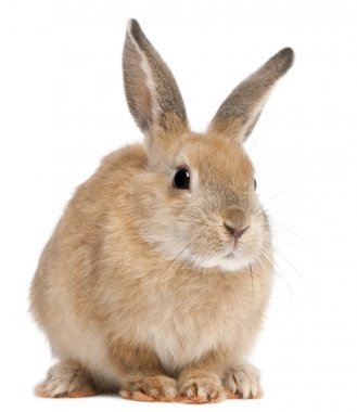 Bunny rabbit in front of white background