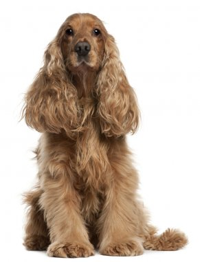 English Cocker Spaniel, 9 years old, sitting in front of white background