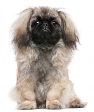 Pekingese puppy, 6 months old, sitting in front of white background
