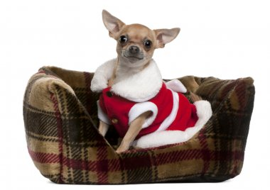 Chihuahua wearing Santa outfit, 25 months old, sitting in doggie bed in front of white background