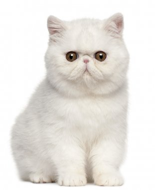 Exotic Shorthair kitten, 4 months old, sitting in front of white background