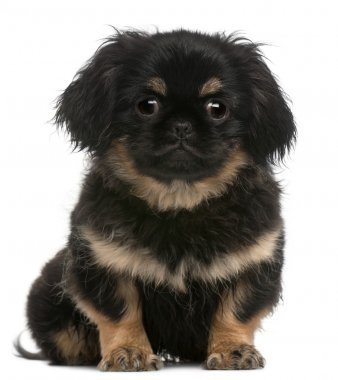 Pekingese puppy, 4 months old, sitting in front of white background