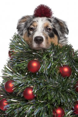 Australian Shepherd dog dressed as Christmas tree, 7 months old,
