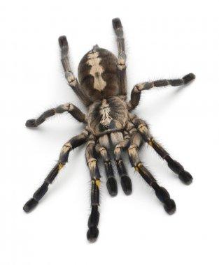 Tarantula spider, Poecilotheria Metallica