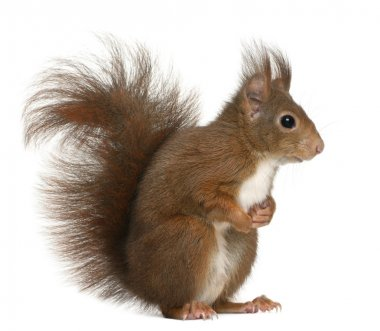 Eurasian red squirrel, Sciurus vulgaris, 4 years old, in front of white background stock vector