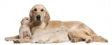 Golden Retriever mother, 5 years old, nursing and her puppies, 4 weeks old, in front of white background