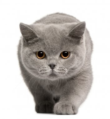 British Shorthair kitten, 4 months old, in front of white background