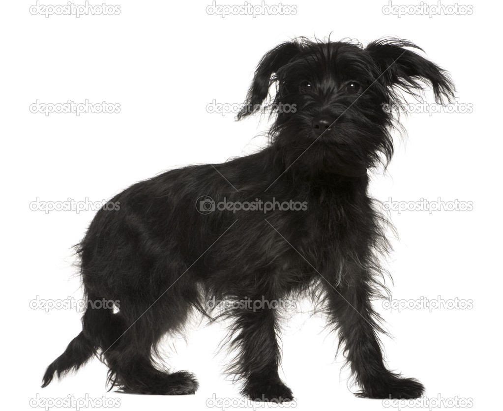 Shih Tzu Mixed With A Yorkshire Terrier 5 Months Old Standing In