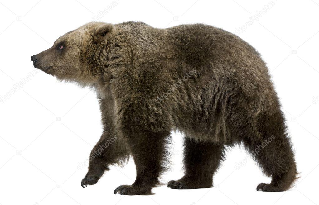 Медведь картинка без фона
