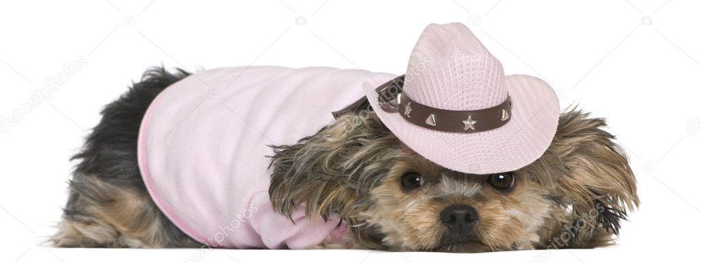 Yorkshire terrier 8e3b64d551e