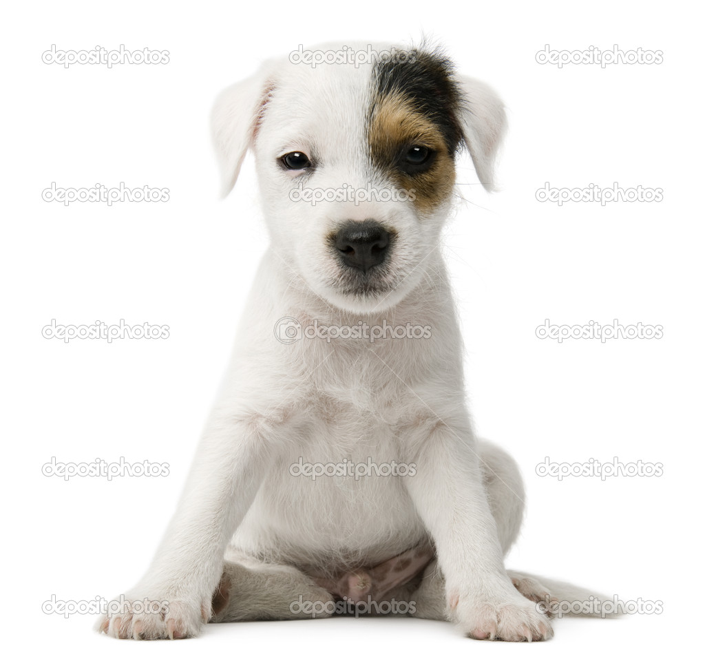 petit parson russell terrier chien assis en face de fond blanc photographie lifeonwhite. Black Bedroom Furniture Sets. Home Design Ideas