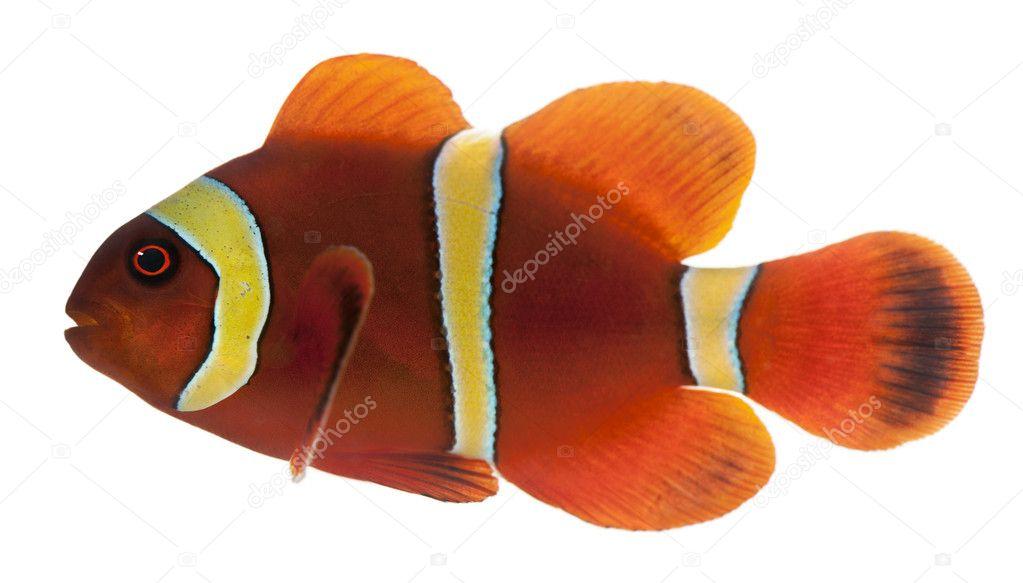Pesce pagliaccio marrone rossiccio premnas biaculeatus for Pesce pagliaccio foto