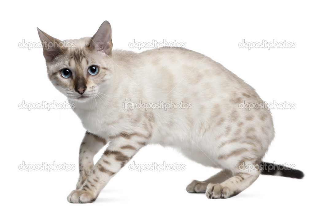 vit bengal katt