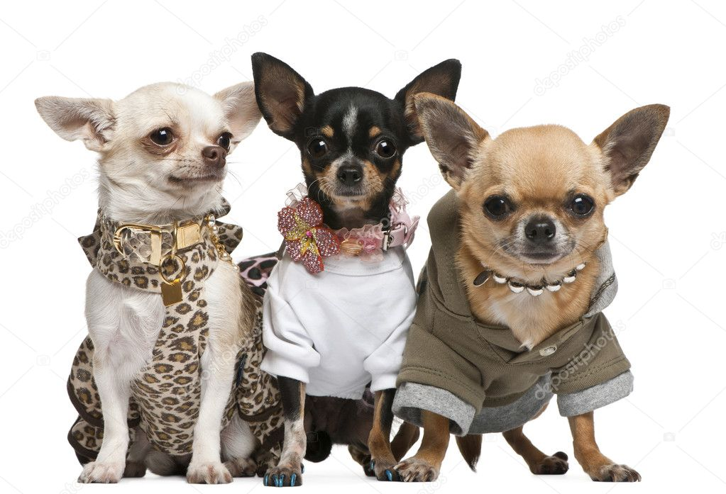 Three Chihuahuas, 2 years old, dressed up and 1 year old, dresse