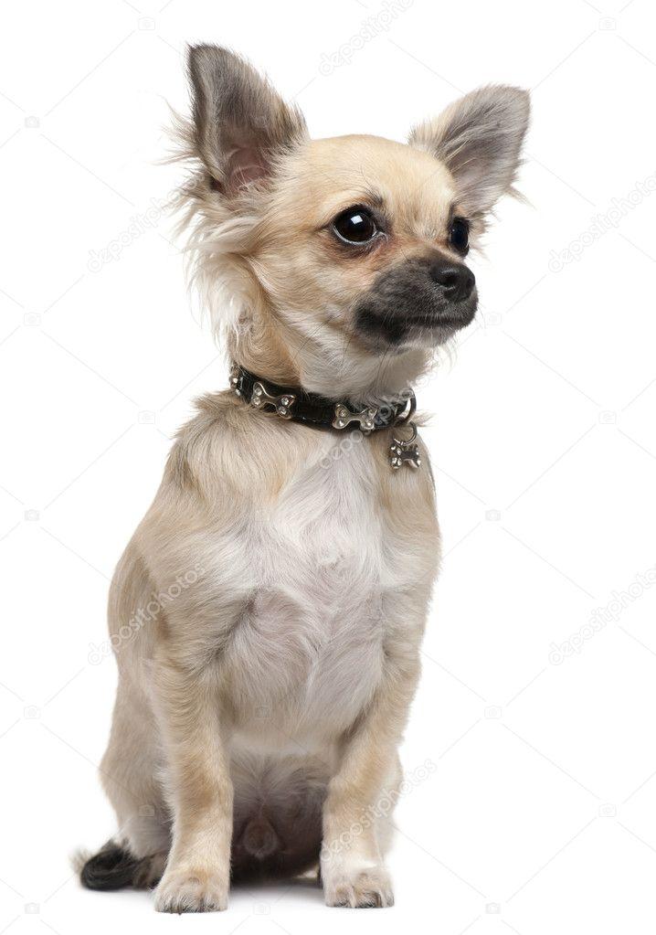 Chihuahua Welpe, 6 Monate alt, sitzt vor weißer Hintergrund ...
