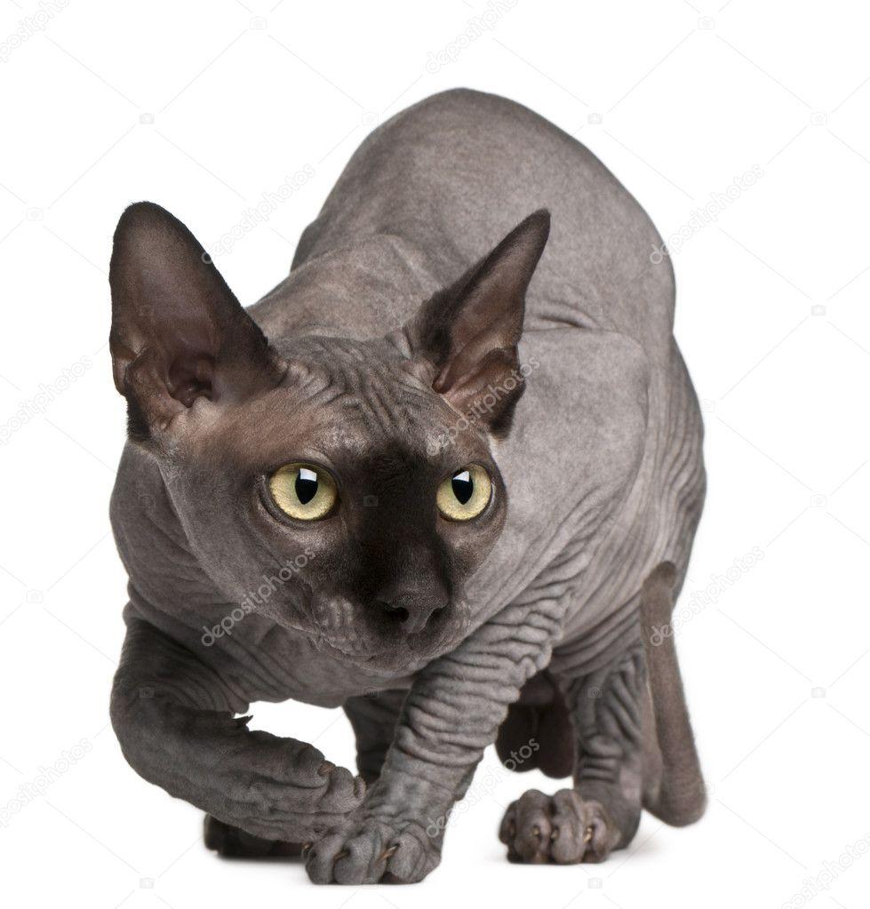 6ac5a58ec9ad Sphynx γάτα