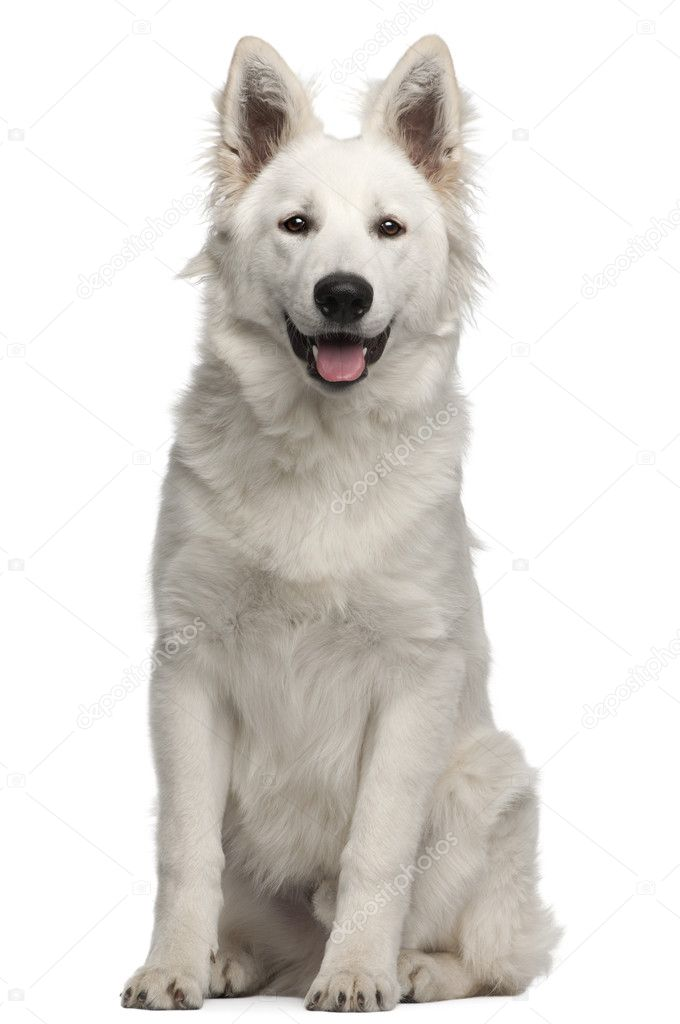 Berger Blanc Suisse Puppy 6 Months Old Sitting In Front Of White